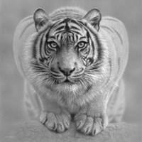 White Tiger - Wild Intentions - B&W Fine-Art Print