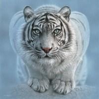 White Tiger - Wild Intentions Square Fine-Art Print