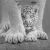 White Tiger Cub - Sheltered - B&W Fine-Art Print