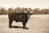 Bull in Sepia Fine-Art Print