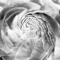 Ranunculus Abstract II BW Light Fine-Art Print