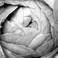 Ranunculus Abstract III BW Light Fine-Art Print