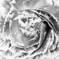 Ranunculus Abstract IV BW Light Fine-Art Print