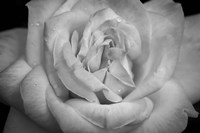 Monochrome Flower 03 Fine-Art Print