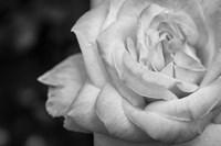 Monochrome Flower 26 Fine-Art Print