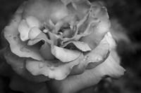 Monochrome Flower 67 Fine-Art Print