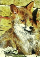 Portrait of an Urban Fox Fine-Art Print