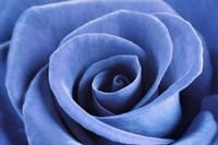 Denim Blue Rose Fine-Art Print