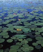 Lily Pad and Spatterdock Fine-Art Print