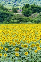 Sunflower Field 01 Fine-Art Print