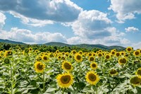 Sunflower Field Against Sky 02 Fine-Art Print