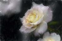Pink & White Rose Fine-Art Print