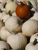 White Pumpkins Fine-Art Print