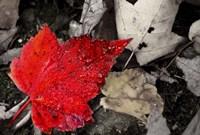 Red Leaf Fine-Art Print