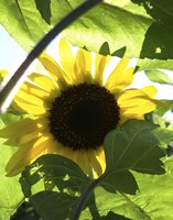 Sunflower 6 Fine-Art Print