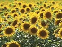 Sunflower 10 Fine-Art Print