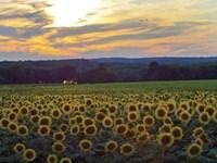 Sunflower 11 Fine-Art Print