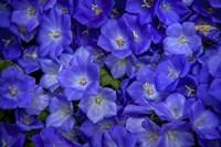 Blue Bells Carpet at Amsterdam Floral Market Fine-Art Print