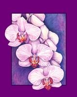Phalaenopsis Orchids Fine-Art Print