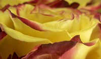 Yellow and Red Rose 1 Fine-Art Print
