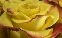 Yellow and Red Rose 2 Fine-Art Print
