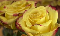 Yellow and Red Rose 3 Fine-Art Print