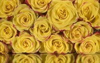 Yellow and Red Rose 6 Fine-Art Print