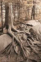 Strong Roots Fine-Art Print