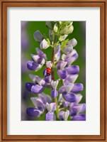 Ladybug On A Lupine Flower Fine-Art Print