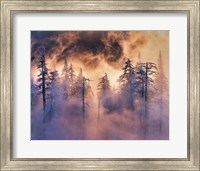 Evergreens In Fog, Mt Hood National Forest, Oregon Fine-Art Print