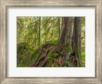 Western Red Cedar Growing On A Boulder, Washington State Fine-Art Print