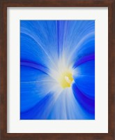 Close-Up Of A Morning Glory Flower Fine-Art Print