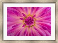 Bright Pink Dahlia Blossom Detail Fine-Art Print