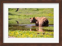 American Black Bear Takes A Cool Bath Near Mystic Lake Fine-Art Print