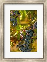 Cabernet Franc Block In Harvest Fine-Art Print
