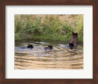 Black Bear Sow and Cubs Fine-Art Print