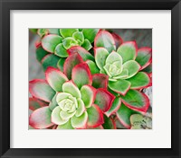 Succulent III Fine-Art Print