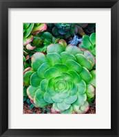Succulent IV Fine-Art Print