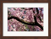 Cherry Blossom Tree In Bloom In Springtime, Tokyo, Japan Fine-Art Print