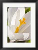 A White Crocus In A Garden In Portsmouth, New Hampshire Fine-Art Print
