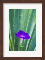 Purple Morning Glory Fine-Art Print