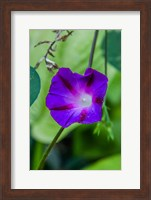 Purple Morning Glory 1 Fine-Art Print