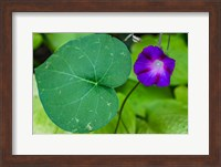 Purple Morning Glory 2 Fine-Art Print