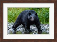 British Columbia Black Bear Searches For Fish At Rivers Edge Fine-Art Print