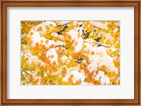 White River National Forest, Snow Coats Aspen Trees In Winter Fine-Art Print