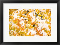 White River National Forest, Snow Coats Aspen Trees In Winter Fine-Art Print