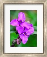 Purple Virginia Spiderwort, Tradescantia Virginiana Growing In A Wildflower Garden Fine-Art Print