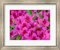 Hot Pink Azaleas In A Garden Fine-Art Print