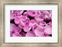 Close-Up Of A Hydrangea Macrophylla 'Ayesha', Lilac Pink Fine-Art Print