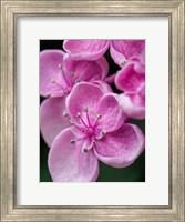 Hydrangea Macrophylla 'Ayesha', Lilac Pink Fine-Art Print